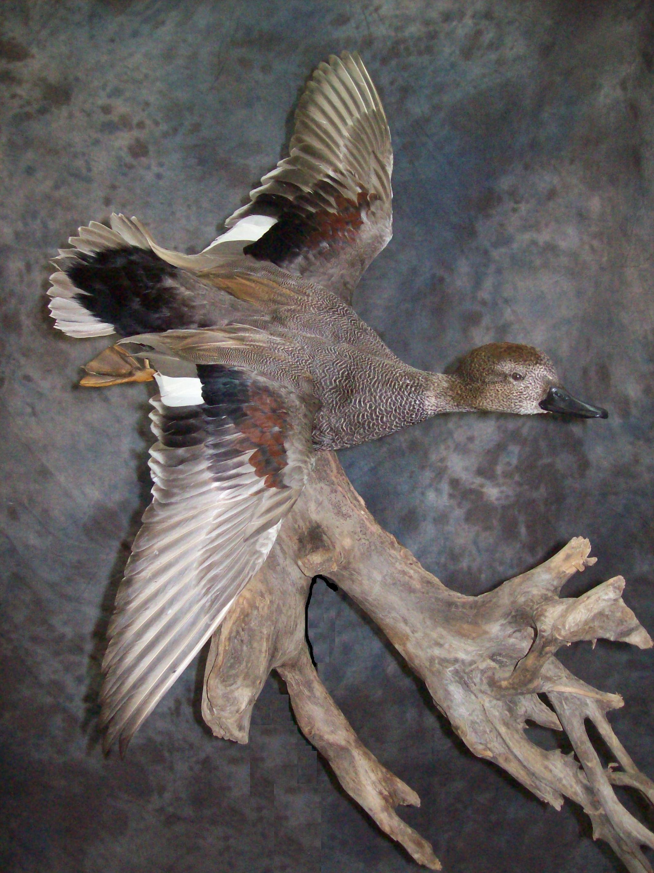 Waterfowl Specialist Award Winniing Waterfowl Mounts Bird