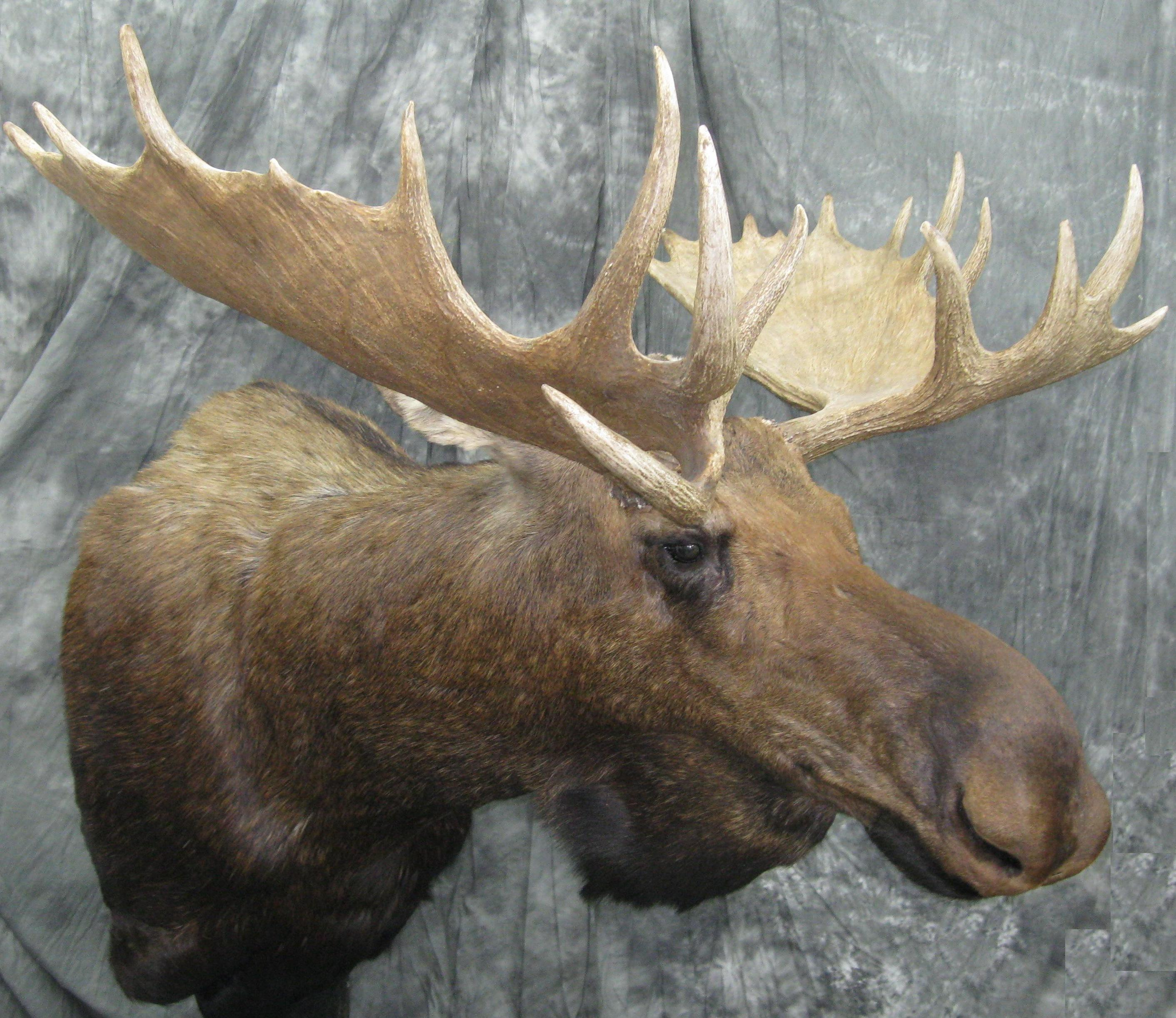 Game Heads Pedestal Mounts Shoulder Mounts Elk Mounts