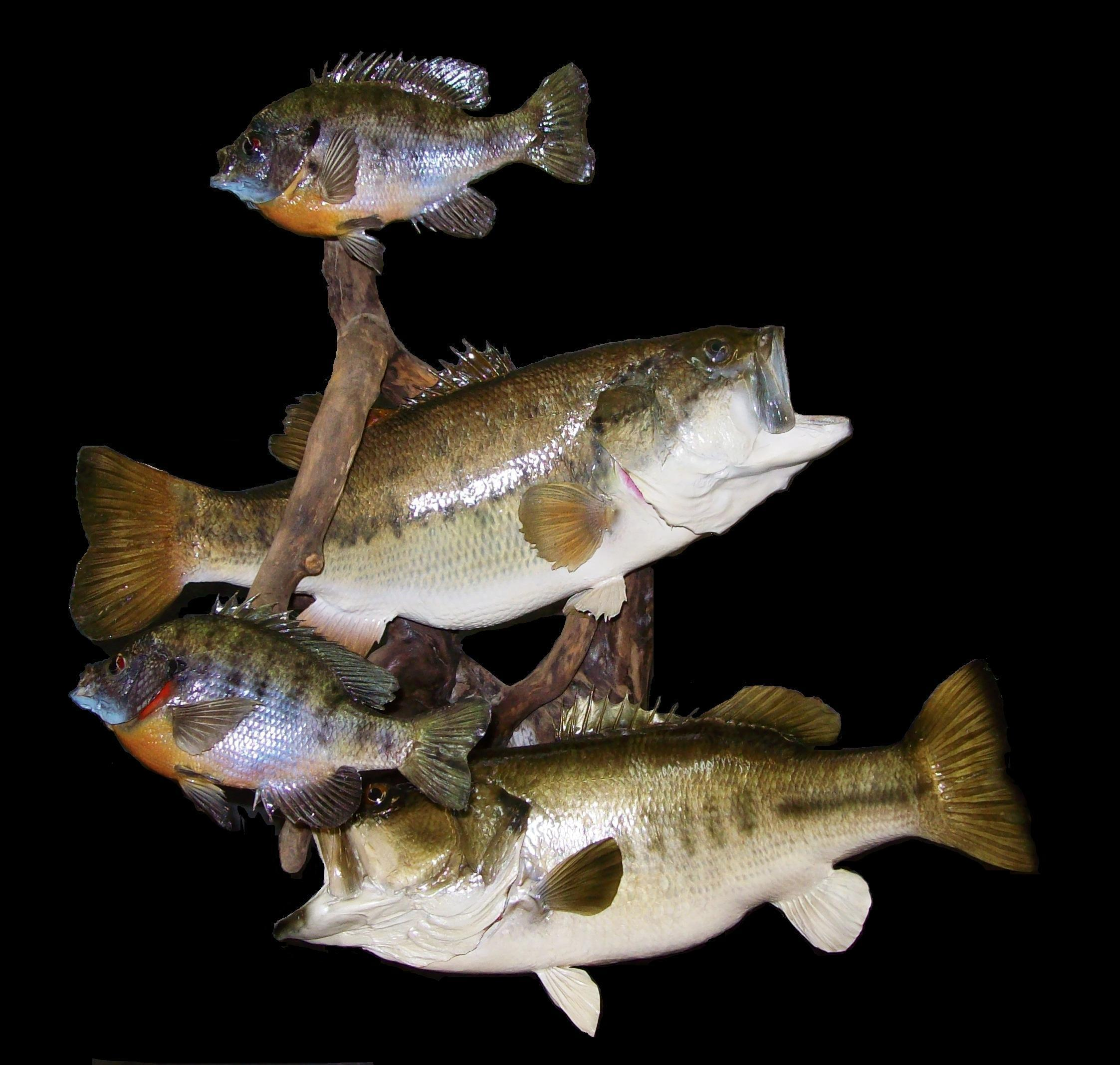 Kentucky fish taxidermy at it 39 s best award winning mounts for Best white fish