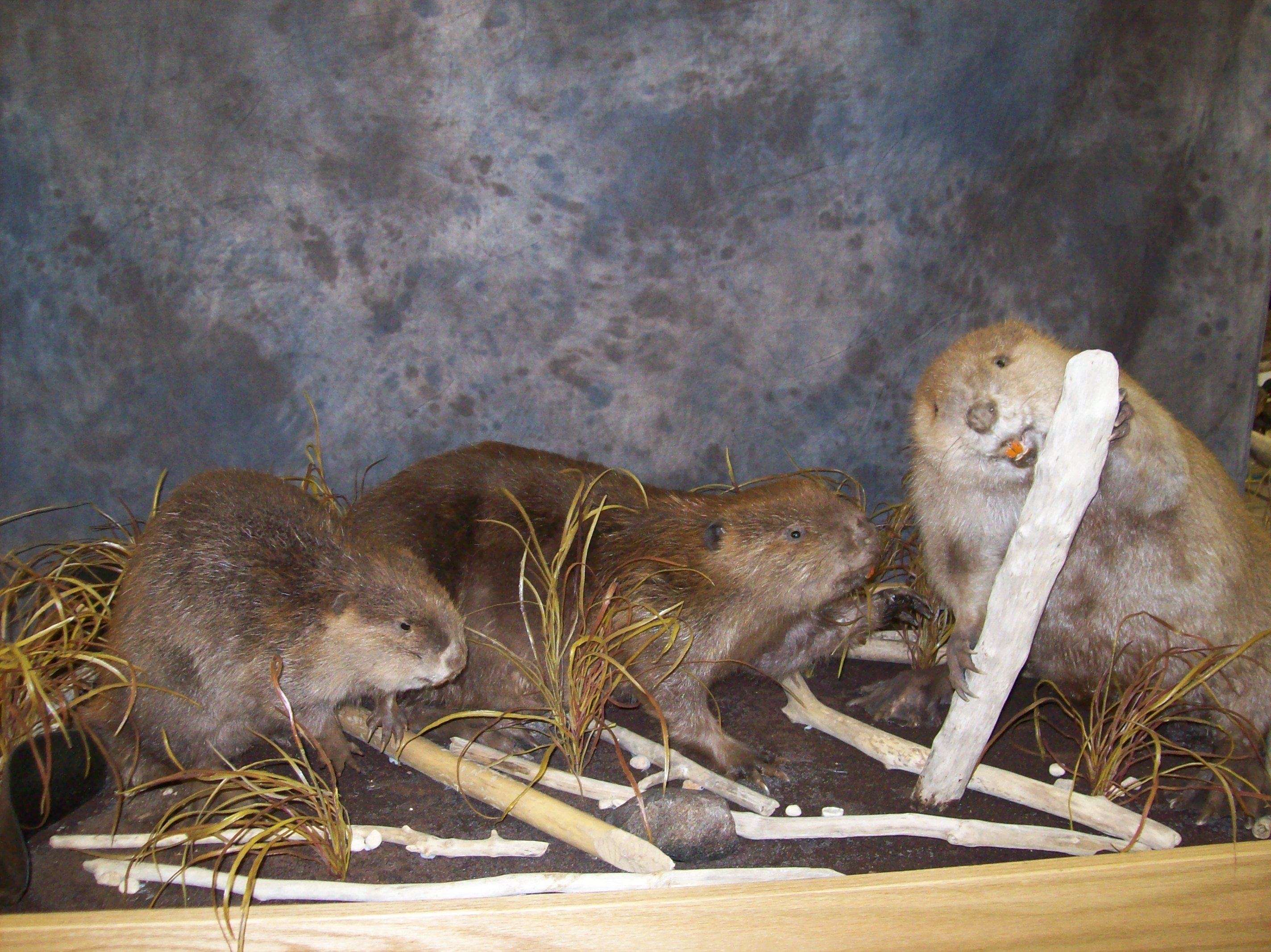 Lifesize Mounts Bobcat Lynx Bear Coyote Fox Bear Deer