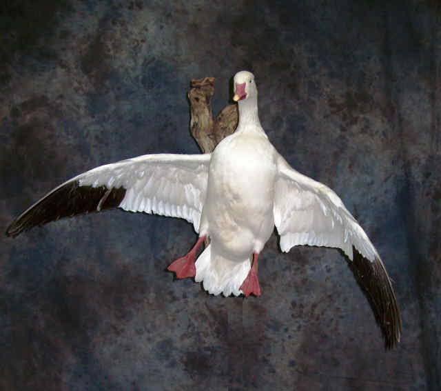 Waterfowl specialistAward winniing waterfowl mountsbird