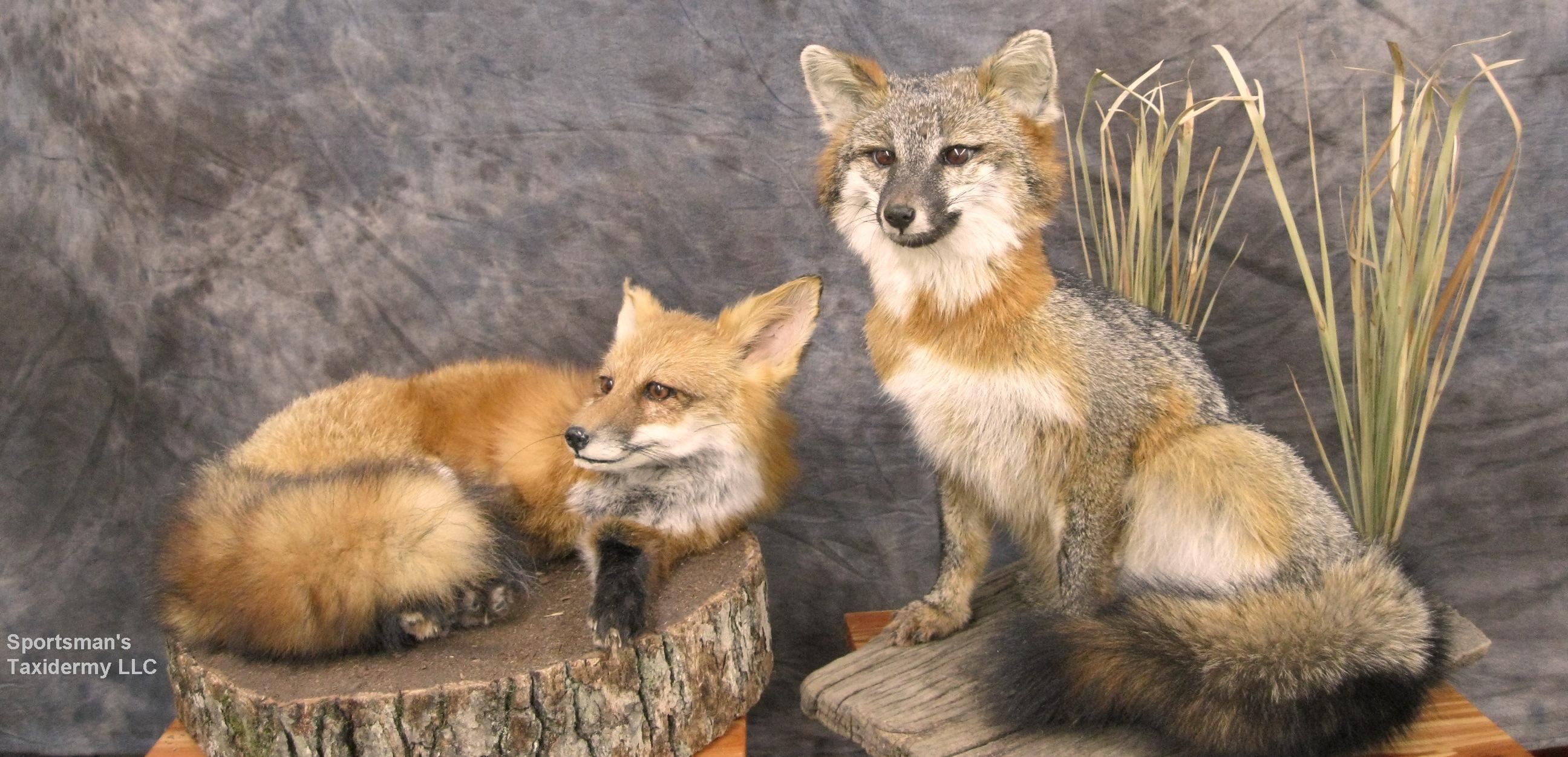 Lifesize Mounts Bobcat Lynx Bear Coyote Fox Bear Deer